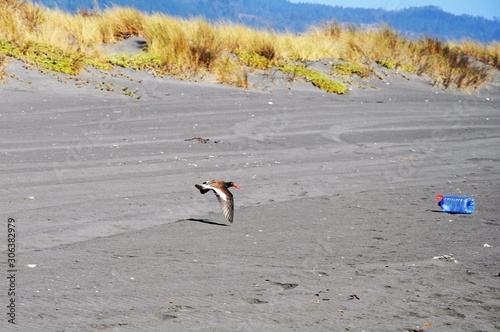 Flying seabird getting ready to land on the sand near a plastic bottle - plastic Canvas Print