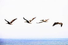 Beautiful Shot Of A Flock Of Northern Gannet Seabirds Flying Over The Sea Under The Clear Sky