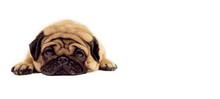 A Beautiful Sad Pug Lies On Is...
