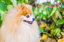 Ginger Dog Pomeranian Spitz Wa...