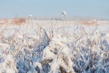 Closeup Grass In A Snow, Winte...