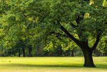 Big Tree In Peaceful Garden