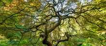 Wide Angle View Of The Spiraling Branches From Underneath The Famous Japanese Maple Tree In Portland, Oregon