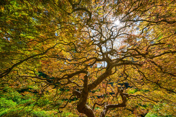 Fototapeta Do salonu Twisting branches of a Japanese Maple Tree with autumn colors