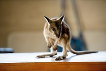 Closeup Shot Of A Baby Kangaroo Standing On A Wooden Surface With A Blurred Background