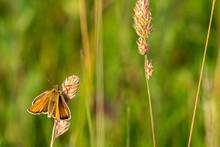Essex Skipper Butterfly (Thyme...