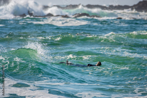 A Southern Sea Otter (Enhydra lutris) floats on her back in the rough, choppy surf, in the waters of the Monterey Bay, California, off of the beach at Carmel by the Sea, near Pebble Beach.