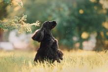 Black English Cocker Spaniel Dog Posing Outdoors In Summer