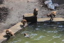 Nepalese Monkeys Bathe And Jum...