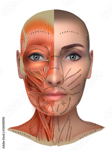 Fotografie, Tablou Muscles structure of the female face and neck, half of the face muscles and half skin, each muscle with name on it