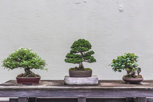 Bonsai Tree On Wooden Table