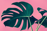 Selective focus of monstera leaves (leaf) on colorful for decorating composition design background.
