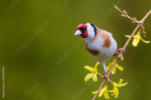 Cuadros en Lienzo European Goldfinch (Carduelis carduelis)