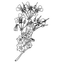 Branch Of Geranium Or Pelargonium Flower. Black And White Linear Silhouette.	Hand Drawn Sketch.