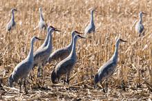 Sandhill Cranes In A Field