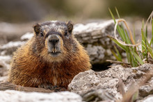 Marmot In Yellowstone National...