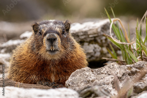 Fototapeta Marmot in Yellowstone National Park obraz