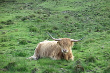 Schottisches Hochlandrind Auf Skye