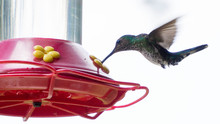 Hummingbird Feeding (2)