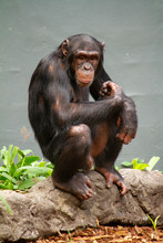 Chimpanzee Sits And Looks To C...