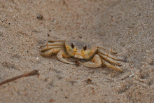 Ghost Crab On The Beach