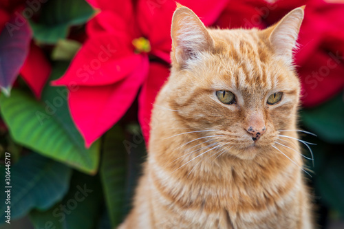 Christmas Cat and Poinsettia