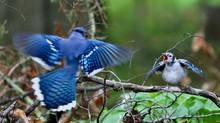 DescriptionThe Blue Jay Is A B...