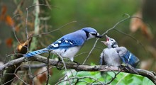 DescriptionThe Blue Jay Is A Bird In The Family Corvidae, Native To North America. It Resides Through Most Of Eastern And Central United States, Although Western Populations May Be Migratory.