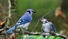 DescriptionThe Blue Jay Is A B...
