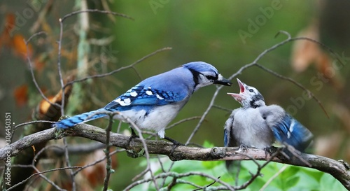 Canvastavla DescriptionThe blue jay is a bird in the family Corvidae, native to North America