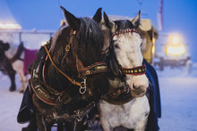 Portrait Of Black And White Horse That Are Used To Pull A Vintage Wooden Sled During Christmas Festivities In The Evening.