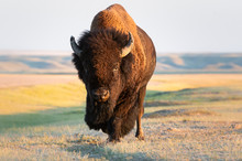 Bison In The Prairies