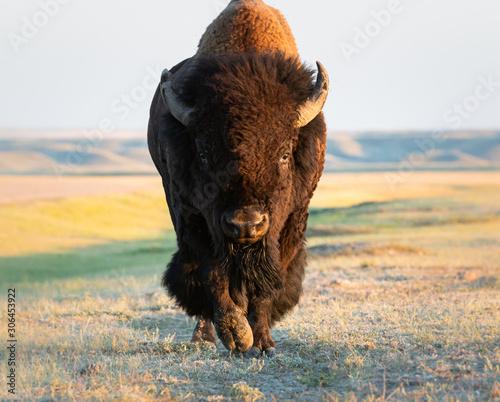 Fotomural Bison in the prairies