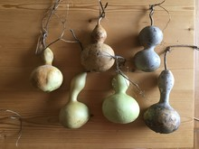 Dried Birdhouse Gourds From Garden On Wood Table