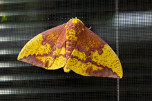 Yellow And Brown Moth On Windo...