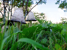 Two White Mushrooms With Ink Grow Among The Grass