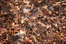 Crunchy Brown Fall Leaves. Can...