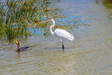 Egret And Cormorant Swimming In Swamp
