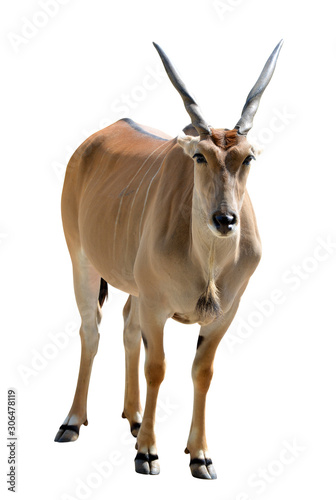 Photo Common Eland antelope (Taurotragus oryx) isolated on white background