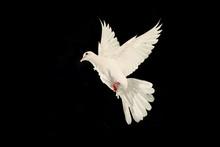 White Dove Flying On Black Bac...
