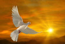 White Dove Flying On Sky In Beautiful Sunset Light For Freedom Concept