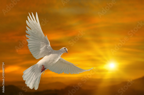 Leinwandbilder - white dove flying on sky in beautiful sunset light for freedom concept