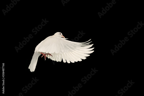 Foto En Lienzo - White dove flying on black background and Clipping path .freedom concept and international day of peace