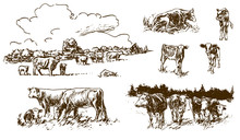 Cows And Calves On Pasture - H...