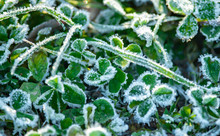 Clover Leaves In Frost