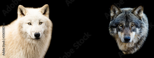 Fototapeta Two wolf with a black background obraz