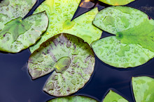 Water Lily Leaves In Lake