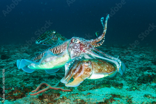 Obraz na plátně Mating Cuttlefish at dawn on a dark, tropical coral reef