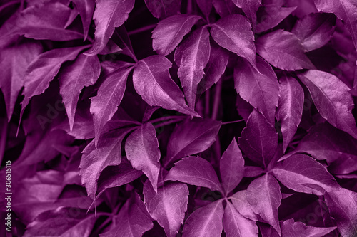 Background of grape creeper ivy plant growing on a wall #306515115
