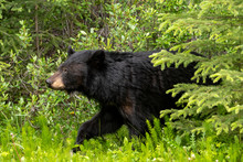 Small Black Bear Coming Out Of Woods